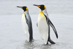 Two King Penguin (Aptenodytes patagonicus) walking behind each other. At Macquarie Island, sub Antarctic waters of Australia stock photos