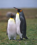 Two king penguins stock image