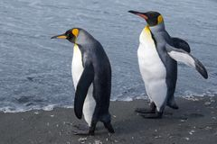 Two king penguins looking at the ocean at Gold Harbor in South Georgia Royalty Free Stock Photography