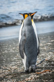 Two king penguins pointing in different directions Royalty Free Stock Photos