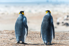 Two KIng penguins. Sight from the back Royalty Free Stock Photo