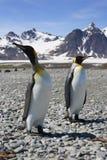 Two King Penguins on South Georgia. Two King Penguins enjoying the beach on Salisbury Plain in South Georgia Stock Photo