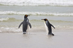 Two king penguins Royalty Free Stock Photo