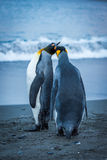 Two king penguins touching beaks on beach Stock Images