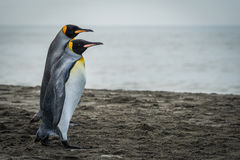 Two king penguins walking together on beach Royalty Free Stock Photo