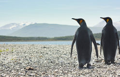 Two king pinguins near sea going form the camera Stock Photo