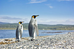 Two king pinguins near sea going form the camera Stock Images
