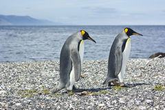 Two king pinguins near sea Royalty Free Stock Photo