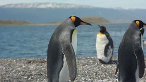 Two king pinguins near sea. Two king pinguins standing near sea and looking on others stock footage