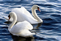 Two king swans Royalty Free Stock Photos
