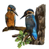 Two kingfishers on a branch Royalty Free Stock Photo