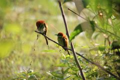 Kingfishers on a branch. Royalty Free Stock Images
