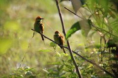 Kingfishers on a branch. Royalty Free Stock Photography