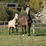 Two Kinsky mares running Royalty Free Stock Images
