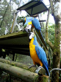 Two kissing  blue-and-yellow macaws Royalty Free Stock Images