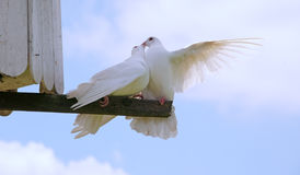 Two Kissing doves with blue sky background Stock Photos