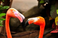 Two Kissing Flamingos Royalty Free Stock Photos