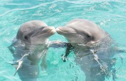 Two kissing dolphins. Two kissing grey bottlenose dolphins in the clear blue ocean stock photography