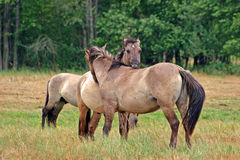 Two kissing horses Stock Image