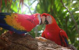 Two Kissing Macaw Parrots On A Branch
