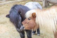 Two Kissing Small Ponys Royalty Free Stock Photo
