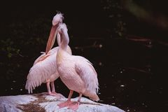 Two kissing white pelicans against a dark background Royalty Free Stock Photography