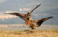 Two kites fighting for food Royalty Free Stock Image