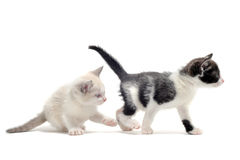 Two kitten Royalty Free Stock Photo