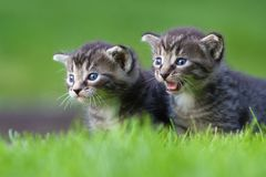 Two kitten Royalty Free Stock Images