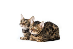 Two kitten bengal, isolated on white Royalty Free Stock Photo