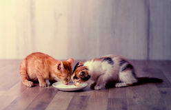 Two kitten eating milk Royalty Free Stock Photography