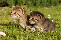 Two kitten in grass Royalty Free Stock Photos