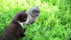 Two kitten in grass on the lawn stock footage