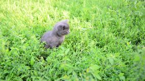 Two kitten in grass on the lawn stock video footage