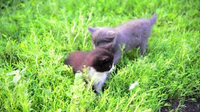 Two kitten in grass in summer stock video