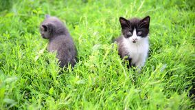 Two kitten in grass in summer stock video footage