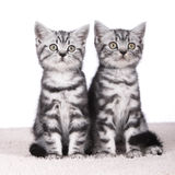 Two kitten isolated Royalty Free Stock Photography