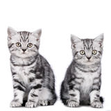 Two kitten isolated Royalty Free Stock Image
