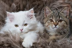 Two kitten lying on a sheep fur stock photography