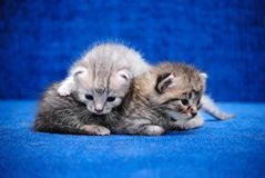 Two Kitten On A Blue Background Royalty Free Stock Image