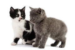Two kitten play Royalty Free Stock Image