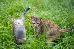 Two kitten playing cat toys on the grass in the garden Stock Images