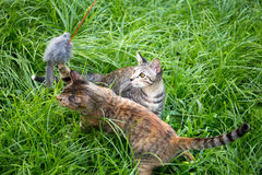 Two kitten playing cat toys on the grass in the garden Royalty Free Stock Photos