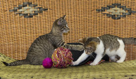 Two kitten are plkaying with a ball. Stock Images