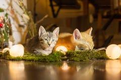 Two kitten. Red kitten sleeping, colorful looks away Royalty Free Stock Photo