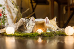 Two kitten. Red kitten sleeping, colorful looks away stock photography