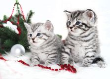 Two kitten thoroughbred in christmas. Scottish, British kittens are striped Stock Photography