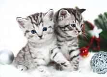 Two kitten thoroughbred in christmas. Royalty Free Stock Photography