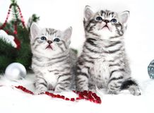 Two kitten thoroughbred in christmas. Stock Image