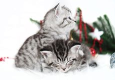 Two kitten thoroughbred in christmas. Scottish, British kittens are striped Royalty Free Stock Image
